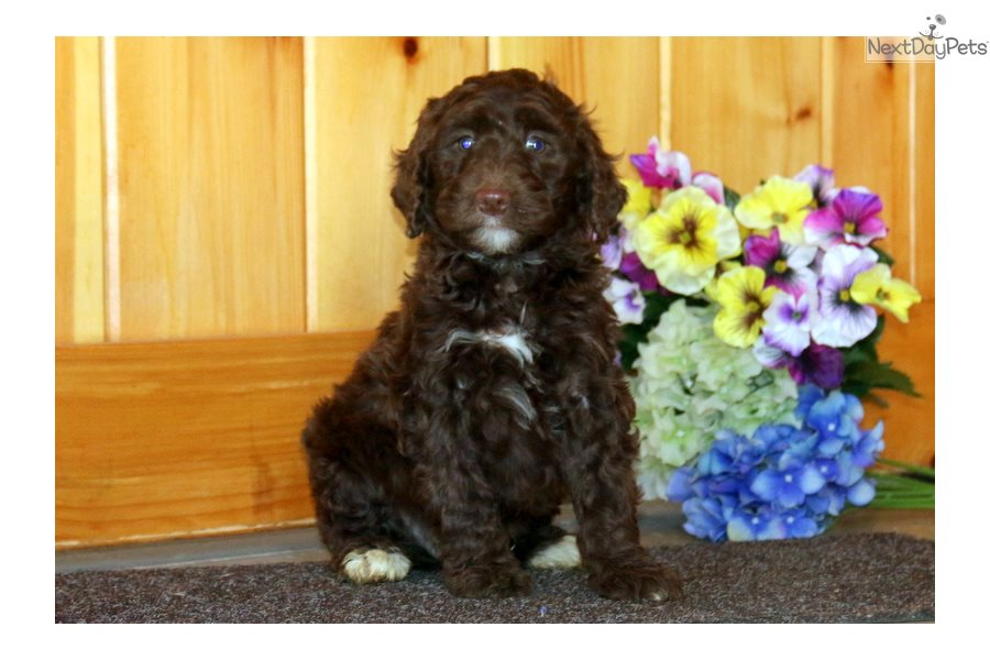 Mixed/Other puppy for sale near Lancaster, Pennsylvania | a68c26f4-65d1