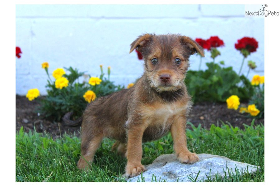 Mixedother Puppy For Sale Near Lancaster Pennsylvania 9edc8b01 82f1