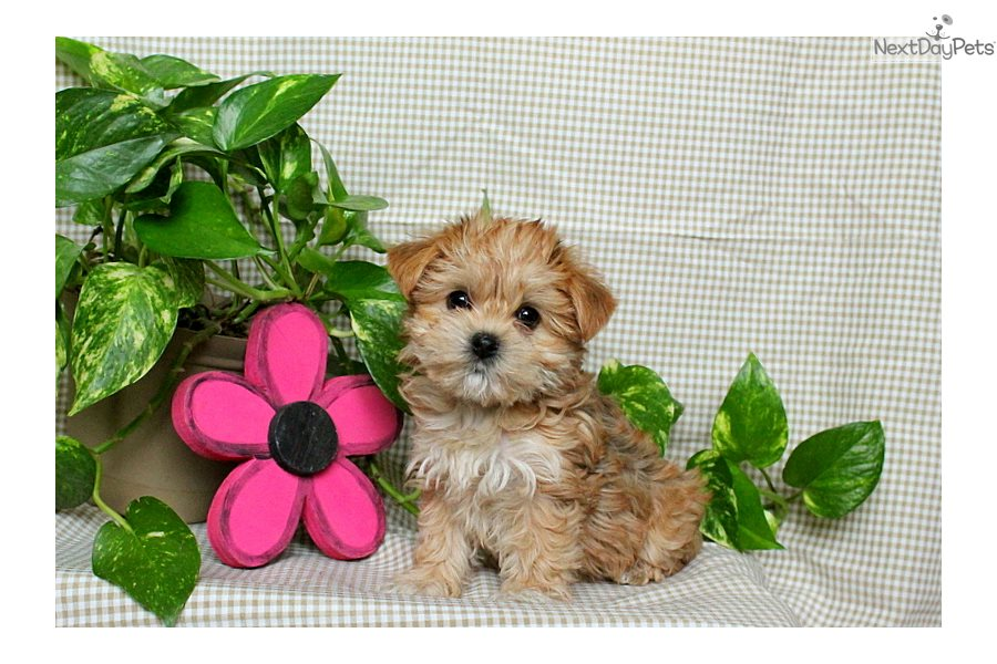 Morkie / Yorktese puppy for sale near Lancaster