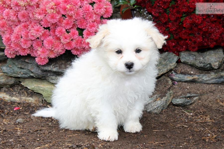Poma-Poo - Pomapoo puppy for sale near Lancaster ...