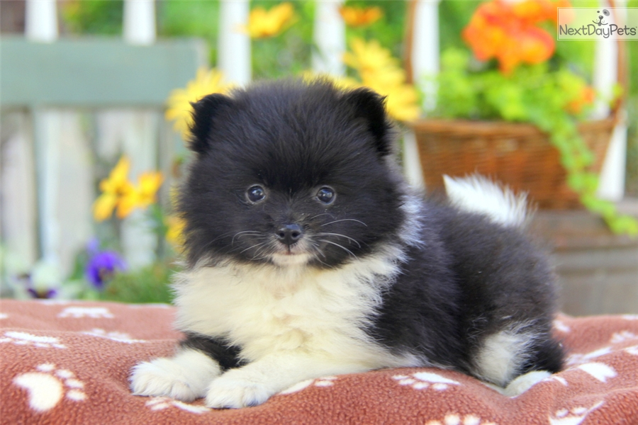 pomeranian groomer near me rosy pomeranian puppy for sale near lancaster 5005
