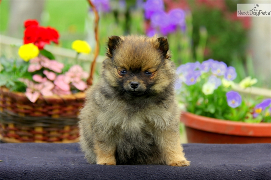 pomeranian groomer near me gregory pomeranian puppy for sale near lancaster 206