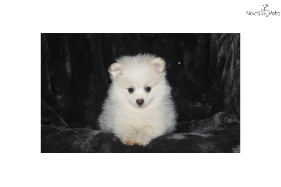 pomeranian groomer near me buster pomeranian puppy for sale near lancaster 9182