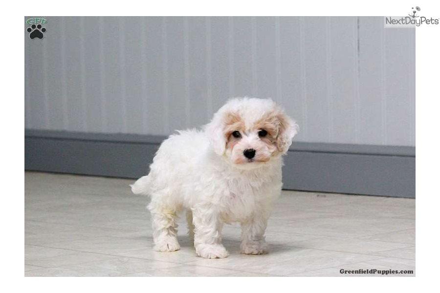 Poodle Miniature Puppy For Sale Near Lancaster