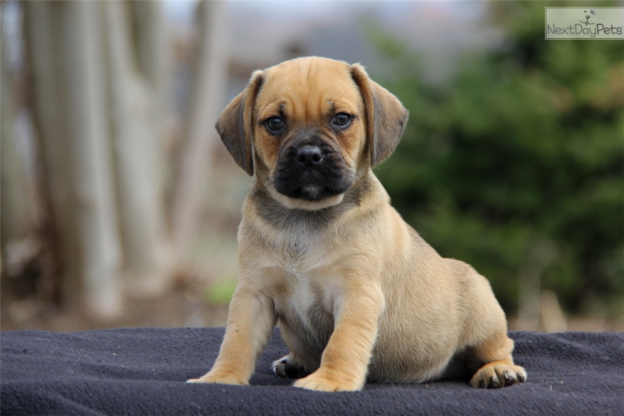 puggle puppy for sale near lancaster pennsylvania elliot puggle puppy for sale near lancaster pennsylvania