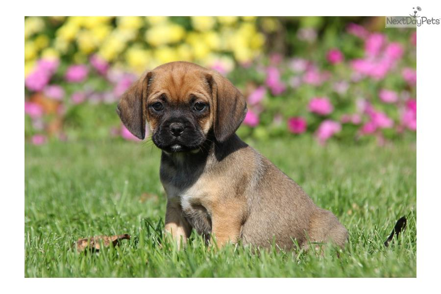 puggle puppy for sale near lancaster pennsylvania molly puggle brown female puggle for sale in lancaster