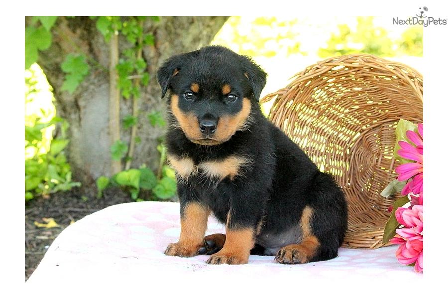 Gabe Rottweiler Puppy For Sale Near Lancaster Pennsylvania