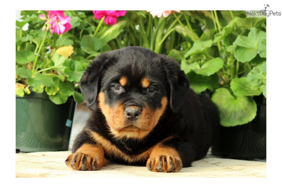 Mitch Rottweiler Puppy For Sale Near Lancaster Pennsylvania