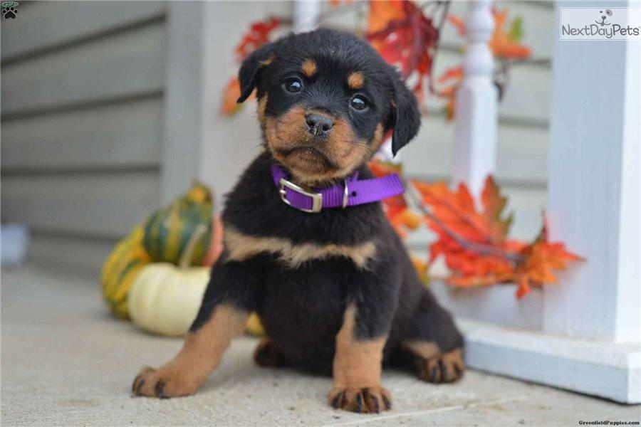 Rottweiler Puppy For Sale Near Lancaster Pennsylvania C3897218 5e01