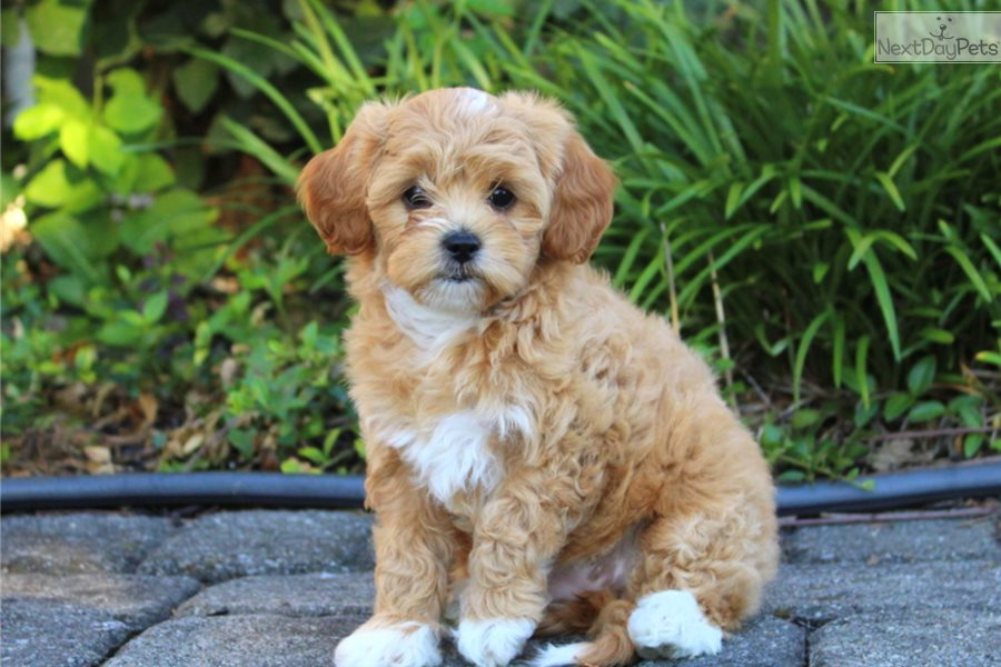 Shih Poo Shihpoo Puppy For Sale Near Lancaster Pennsylvania