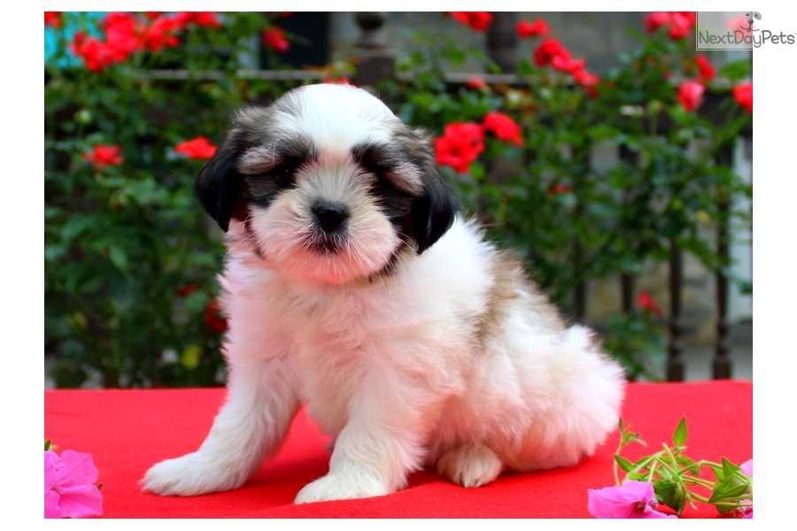 Teacup Shih Tzu Puppy For Sale Near Lancaster Pennsylvania