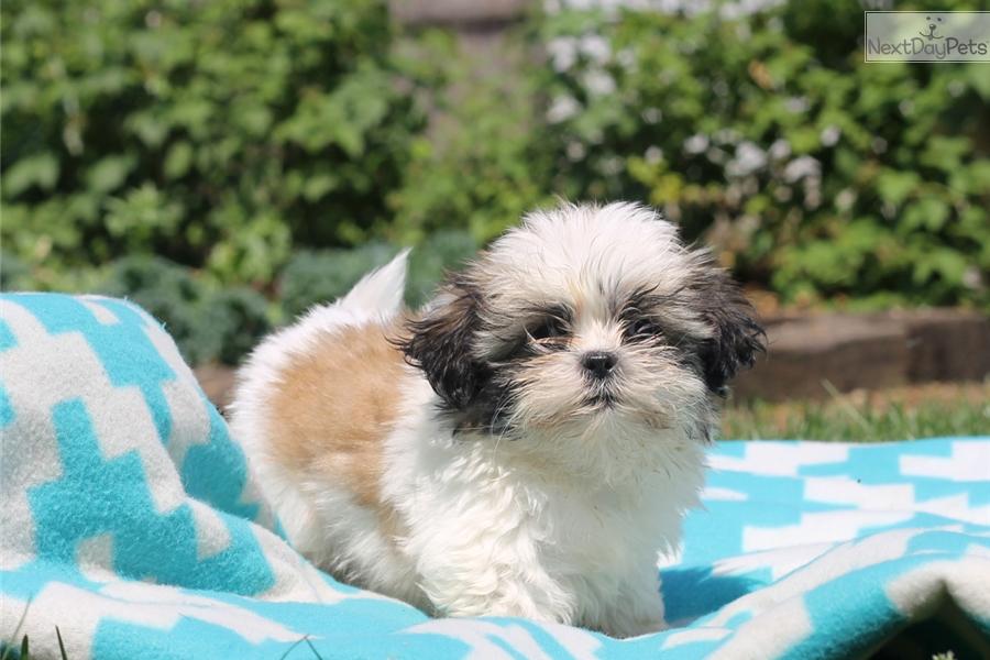 Quincy Shih Tzu Puppy For Sale Near Lancaster Pennsylvania