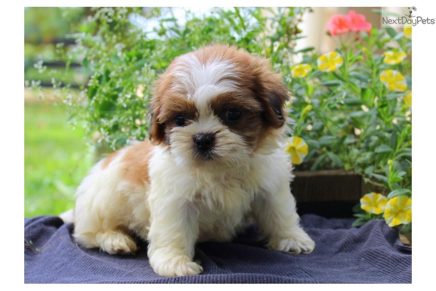 Champ Shih Tzu Puppy For Sale Near Lancaster Pennsylvania