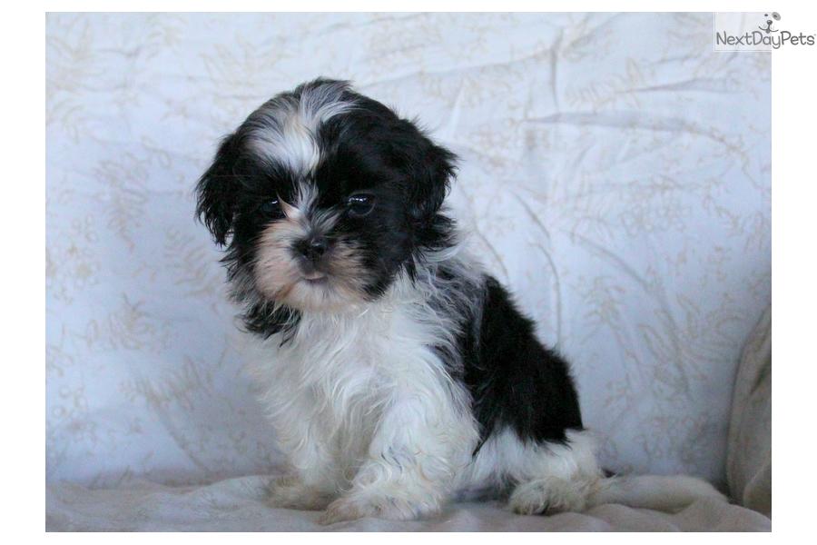 Husky Shih Tzu Puppy For Sale Near Lancaster Pennsylvania