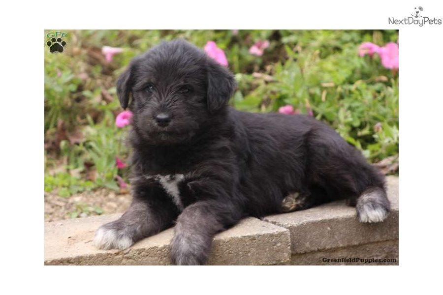 Siberian Husky puppy for sale near Lancaster, Pennsylvania