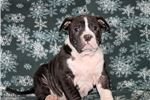 Picture of Gus - American Bulldog MIX
