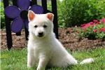 Picture of London - American Eskimo Dog