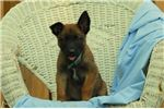 Picture of Colt - Belgian Malinois