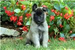 Belgian Tervurens for sale