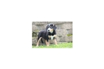 Picture of Bertie - Entlebucher Mountain Dog Female