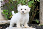 Prince-BichonFrise | Puppy at 13 weeks of age for sale