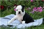 Picture of Ernie / Boston Terrier