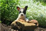 Picture of Gala - Boston Terrier