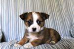 Picture of Bridget - Cairn Terrier MIX