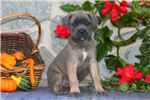 Picture of Becky - Cane Corso