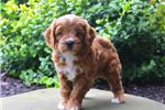 Picture of Marvin - Cavapoo