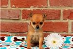 Picture of Pip - Chihuahua