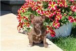 Picture of Beauty - Chihuahua