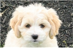 Picture of Cindy / Bichon Mix