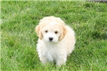 Picture of Chuckles / Bichon Mix