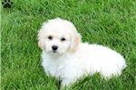 Picture of Tyrese / Bichon Mix