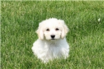 Picture of Trisha / Bichon Mix