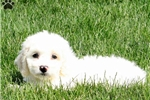 Picture of Theo / Bichon Mix