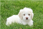Picture of Chesney / Bichon Mix