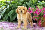 Picture of Macy - Cocker Spaniel