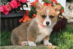Corgi for sale