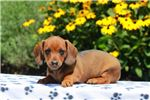 Picture of Carla - Dachshund