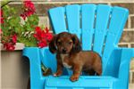Picture of Dandelion - Dachshund