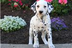 Picture of Ned - Dalmatian