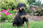 Picture of Theo - Doberman Pinscher
