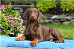 Picture of Sport - Doberman Pinscher