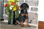 Picture of Beaut - Doberman Pinscher