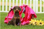 Picture of Whistle - Doberman Pinscher