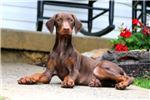 Picture of Andy - Doberman Pinscher