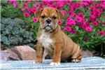 Penny - English Bulldog | Puppy at 19 weeks of age for sale