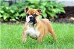 Picture of Amanda - English Bulldog